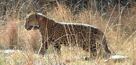 Macho-B-Jaguar-Photo2